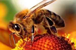 Extermination abeille domestique