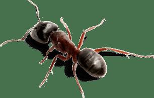 Exterminateur Fourmis charpentière