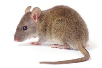 Exterminateur souris