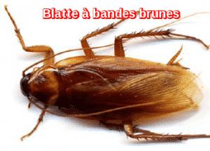 Blatte à bandes brunes