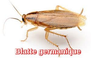 Exterminateur Blatte germanique