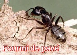 Extermination Fourmi de pavé