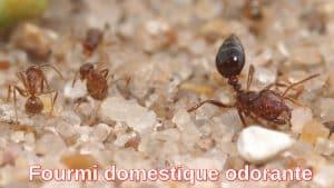 Fourmi domestique odorante