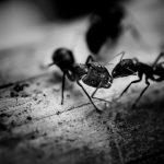 Le problème des invasions de fourmis