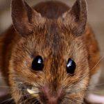 Huit faits étonnants que vous ne connaissez pas sur les souris